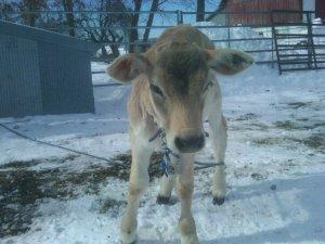 calf_snow