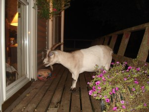 Yes, we had someone dump a goat close to our farm. So, we took her in.