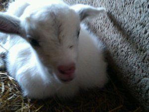 Goats can be used as part of FFA members' SAE projects.